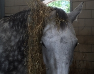 Quattro eating hay